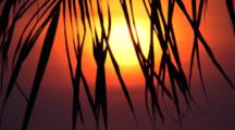 Sunset Palm Frond Silhouette, Mexico