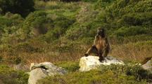 Baboon Sits On Rock
