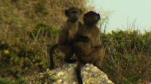 Baboons Sit On Rock