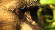 Baboon Monkey Close Up
