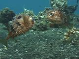 Porcupine Puffers Fight For Territory