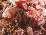 Barnacle Feeds On Plankton