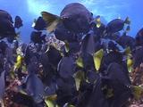 Grazing Surgeon Fish