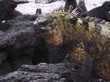 Male Marine Iguana Mating Colors