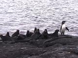 Galapagos Penguin With Marine Iguanas
