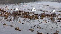 Gulls On San Miguel Island
