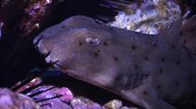 Horn Shark