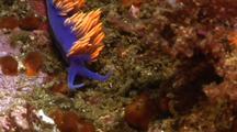 Nudibranch Travelling