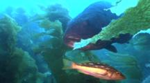 Black Sea Bass In Kelp