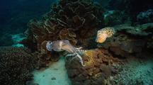 Cuttlefish Display Mating