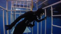 Diver In Cage Looks For Great White Shark