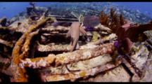 Pov Travel Over Top Of Shallow Wreck With Lemon Shark, Fish And Invertebrates