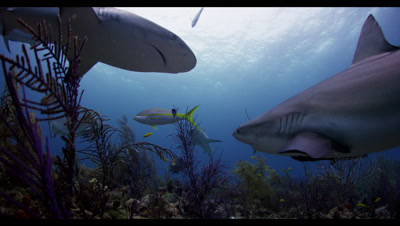 School Of Reef Sharks Gather Above Shallow Reef
