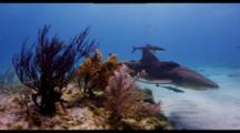 Lemon Shark Swims Along Shallow Reef