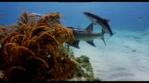 Lemon Shark Swims Along Shallow Reef Joined By Remora, Tiger Shark Behind
