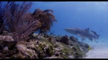 Lemon Shark With Remoras Swims Along Shallow Reef