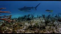 Tiger Shark And Lemon Shark On Shallow Reef