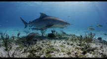 Tiger Shark And Lemon Shark With Remoras Travel Over Shallow Reef