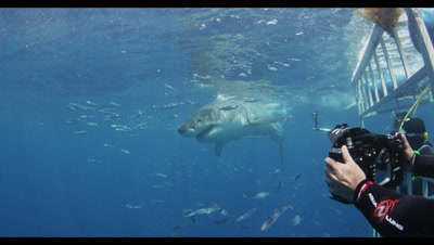 Divers Photograph Great White Sharks Through Shark Cage