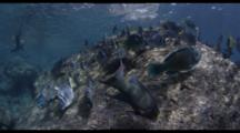 Slow Motion, Sea Lion And Yellowtail Surgeon Fish School Swim Above Shallow Rocky Reef, Baja California