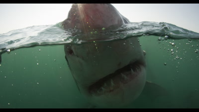 Great White Shark On Surface,Split Shot,Very Close