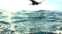 Split Shot, Frigate Birds And Sailfish Hunting Baitballs - Isla Mujeres Mexico