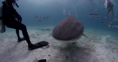 Divers watches tiger shark bump into camera ,Bahamas