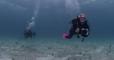 Divers Swim over sand bottom looking for Tiger Sharks,Bahamas