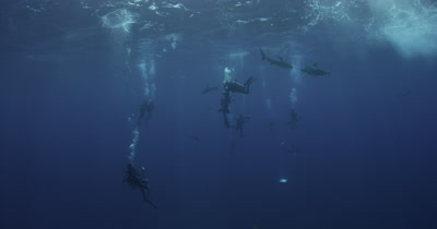 Looking Up at many divers and Oceanic White Tip Sharks