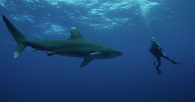 Oceanic White Tip Shark Swims In Blue Water,passes close to diver