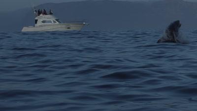 White Shark Tourism Boats Observe Great White Shark Breach