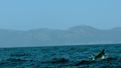 Great White Shark Breaches