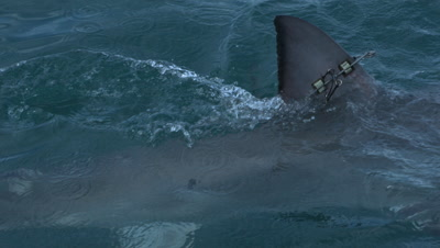 Great White Shark with Tag on Dorsal Fin