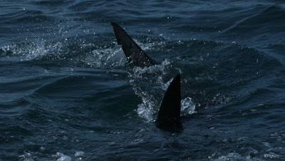 Great white shark fins breach water - slow motion