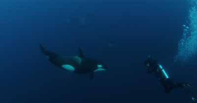 Scuba Diver films,Swims With Killer Whales