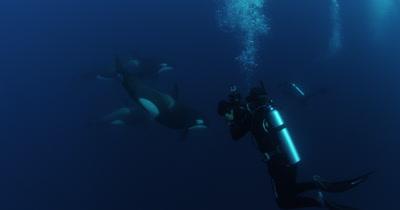 Scuba Divers Swim With Killer Whales