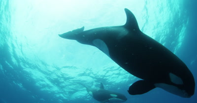 Killer Whales Swim in Open Ocean