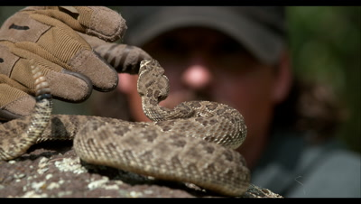 Slow Motion,Captive Rattlesnake Rattles and Strikes Handler's Glove