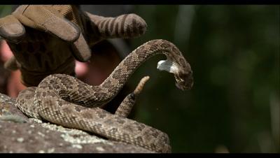 Slow Motion,Captive Rattlesnake Rattles and Strikes Handler's Glove
