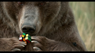 Slow Motion,Captive Grizzly Bear Chews on Rubik's Cube