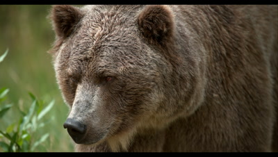 Slow Motion,Grizzly Bear Walks Near Forest