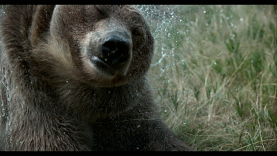 Slow Motion,Captive Grizzly Bear Shakes Off Water