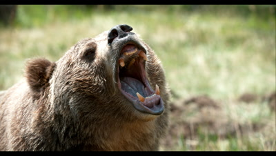 Slow Motion,Captive Grizzly Bear Snarls,Mouth Wide Open
