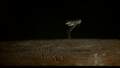 Slow Motion,Jumping Cricket or Grasshopper