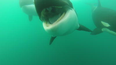 Killer Whales Approach Very Close,one Mouths Camera