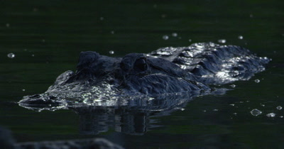 Close up of the head of an American Alligator swimming in the Everglades; partially obscured by rocks