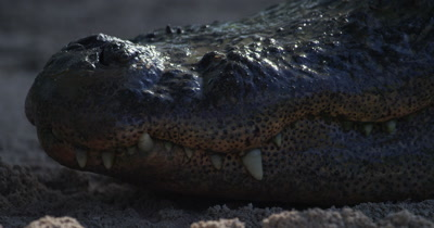 Close up of the jaws and teeth of an American Alligator resting on a sandy beach in the Everglades