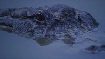 Close up of the head of an American Alligator swimming in the Everglades