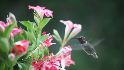 A hummingbird visits red and white mandevilla flowers