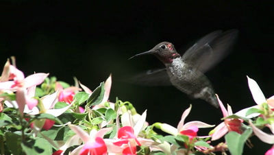 A hummingbird finds nectar in fuchsia blossoms.